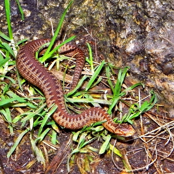 What I'm aiming for - a beautiful UK adder (photo by Robert Pittman on flickr).