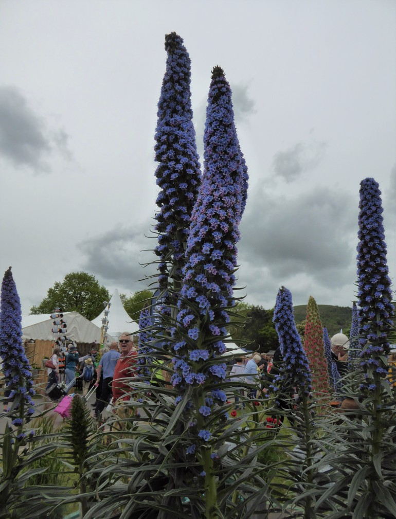The label said Echium Webbii. To me, they look like they're going off like fireworks.